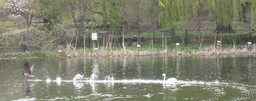 Soaring duck