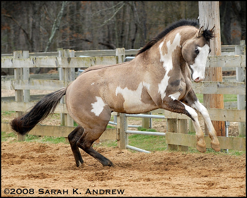 Silver Grullo Overo Paint Stallion