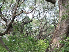 Gazillions of Live Oak Trees