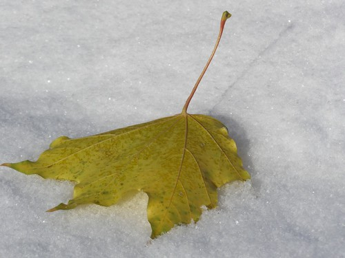 Maple leaf, in the snow