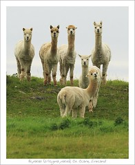 Alpacas, Co. Clare, Ireland by Madra Rua ♪♫ www.haukesteinberg.com