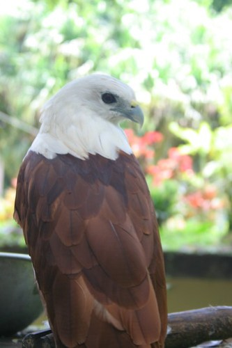 Lawin (Hawk) at the Philippine Eagle Center