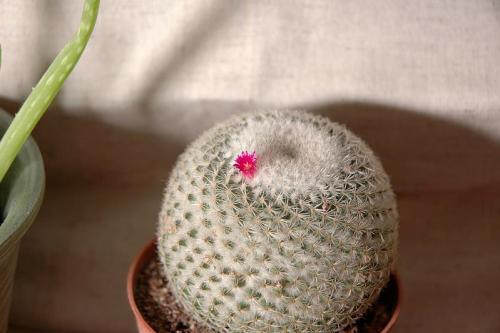 Cactus blossom 1