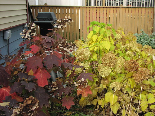 Oakleaf and Annabelle hydrangeas