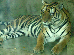 Dusit Zoo tiger