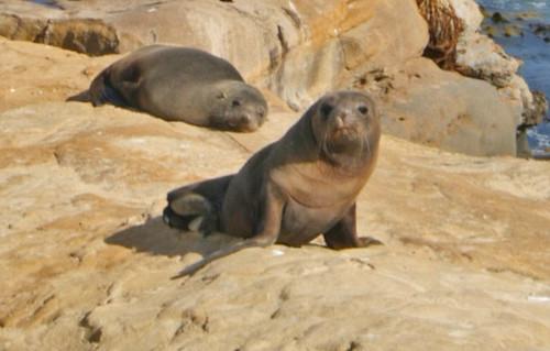 Seal at Shag Point, New Zealand