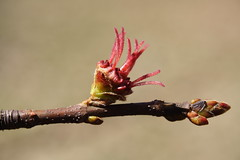 Silver Maple Flower