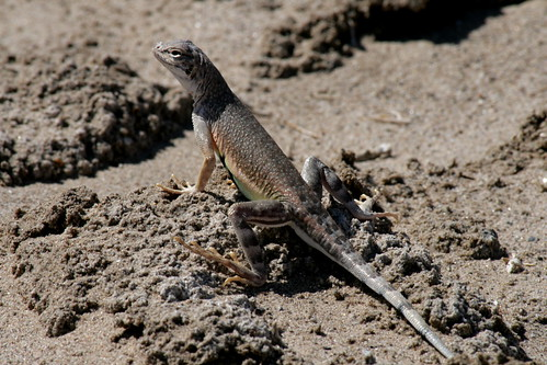 Salt Creek zebra tail lizard Death Valley