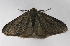 The Half-wing (dark morph)