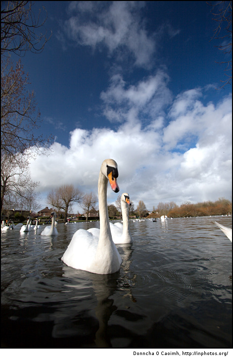 Swans on The Lough