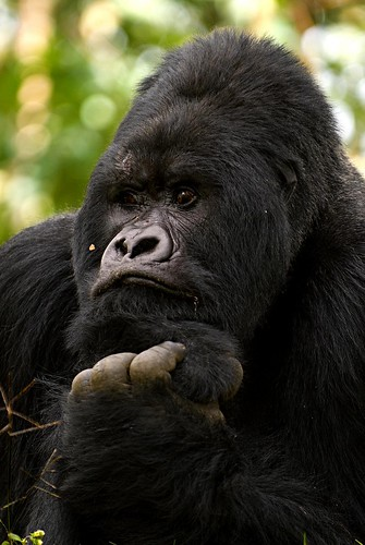 Mountain Gorilla, Virunga National Park