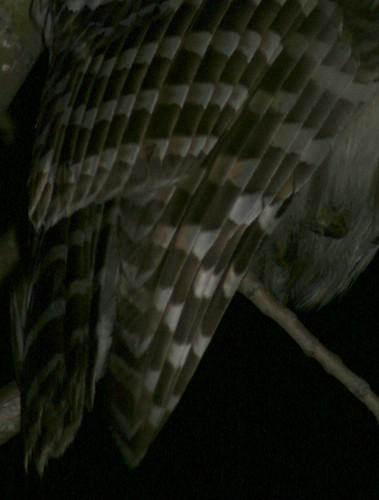 Barred Owl wings