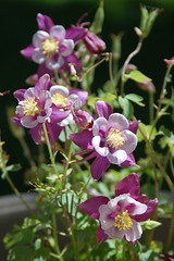 Purple Columbines