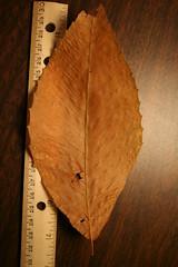 Leaf1a