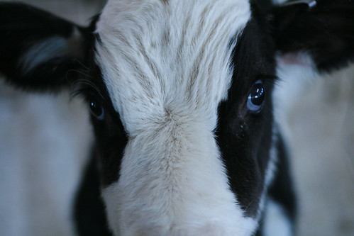 Cute calf at my family farm