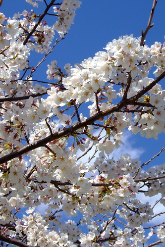 Blue sky and blossoms