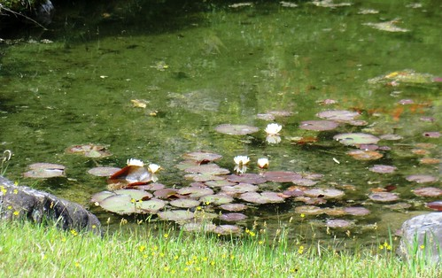 Flowers blooming in the North Garden Pond
