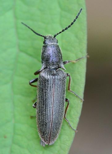 Click beetle