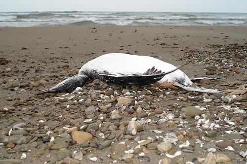 Dead Common Loon along Lake Erie