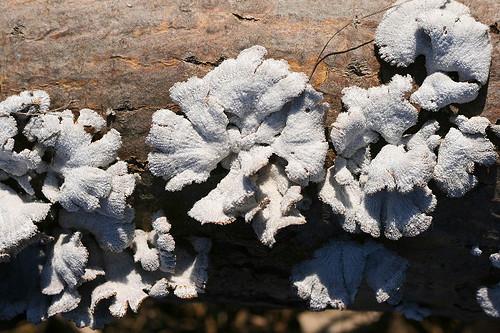Schizophyllum commune, split gill fungus