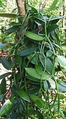 Vanille: die Orchidee