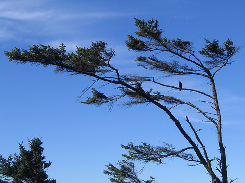 Day 08 - Tree & Crow at Cape Perpetua