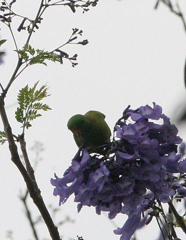 vernal hanging parrot k gudi campus 170308