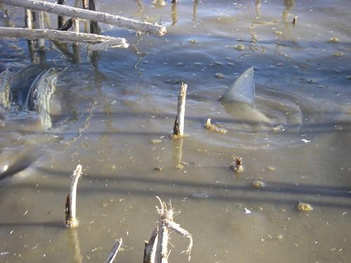 Stripers Stranded on Prospect Island