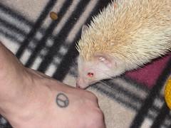 Olivia Hedgehog