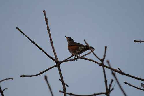 November Robin
