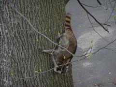 Racoon climbing down tree
