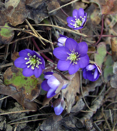 wild flowers already blooming ~ the blue anemone