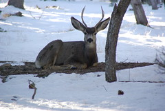 Grand Canyon - Young Buck