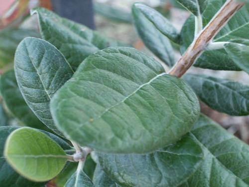 guava4