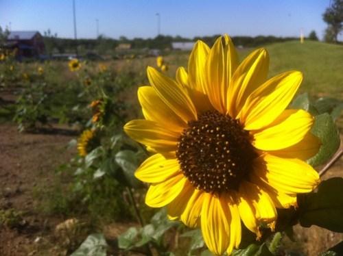 05.26.2011 Sunflowers