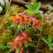 Tropaeolum pentaphyllum