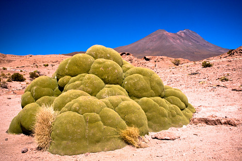 3,000 Year Old Yareta Plant
