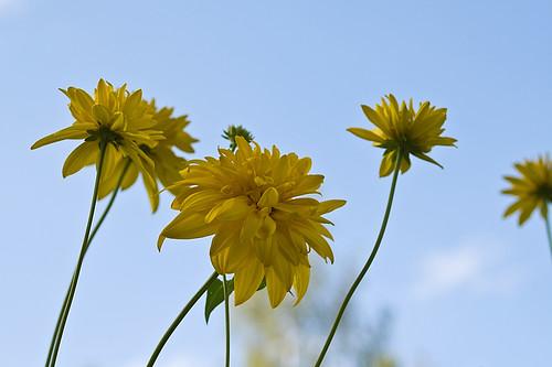 More yellow fellows