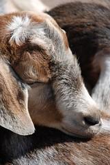 sleepy goat