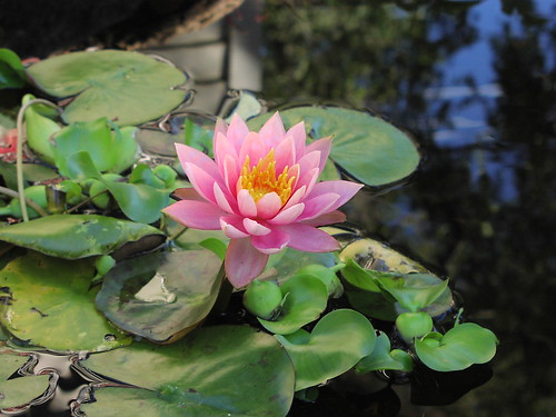 October water lily