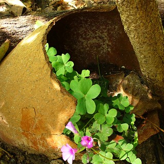 broken clay pot with clover