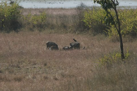 boar and babies feasting at a predator's kill 231207