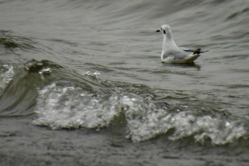 a bonaparte's gull