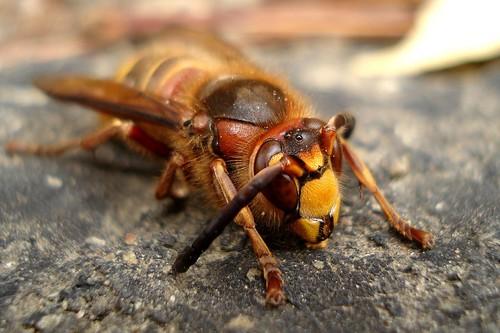 big hornet