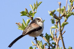 Long Tailed Tit'