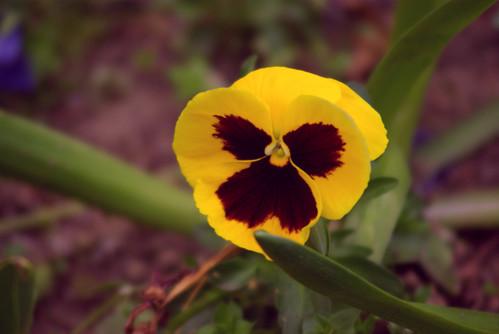 yellow flower, istanbul, pentax k10d