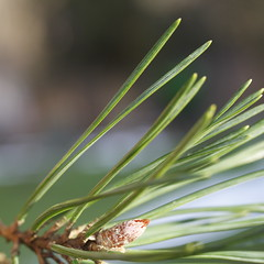 Scotch Pine Closeup