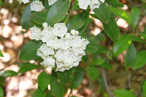 Bull Run Occoquan Trail - Mountain Laurel