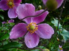 Anemone hupehensis 'Prince Henry'