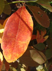 Single-lobed sassafras leaf